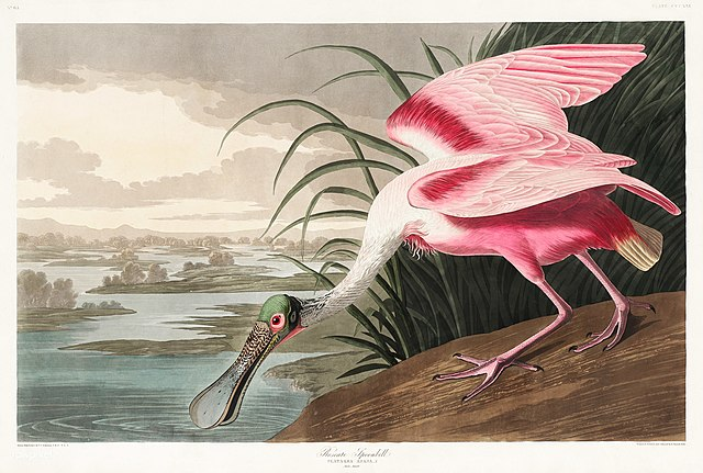 Espátula rosada - John James Audubon